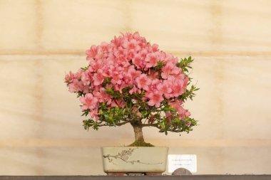 A pink flowering Bonsai tree Rhododen Satsuki