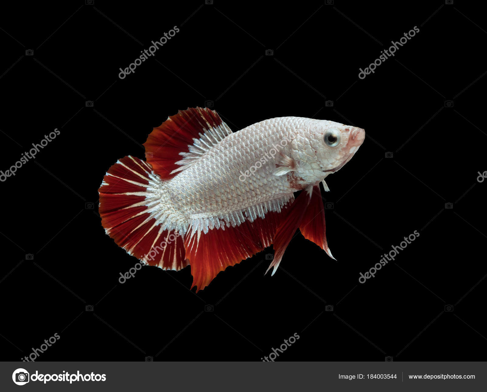 white red fighting fish on black background with clipping path ...