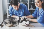 Photo Two veterinarian are examining a cute siberian husky at hospital