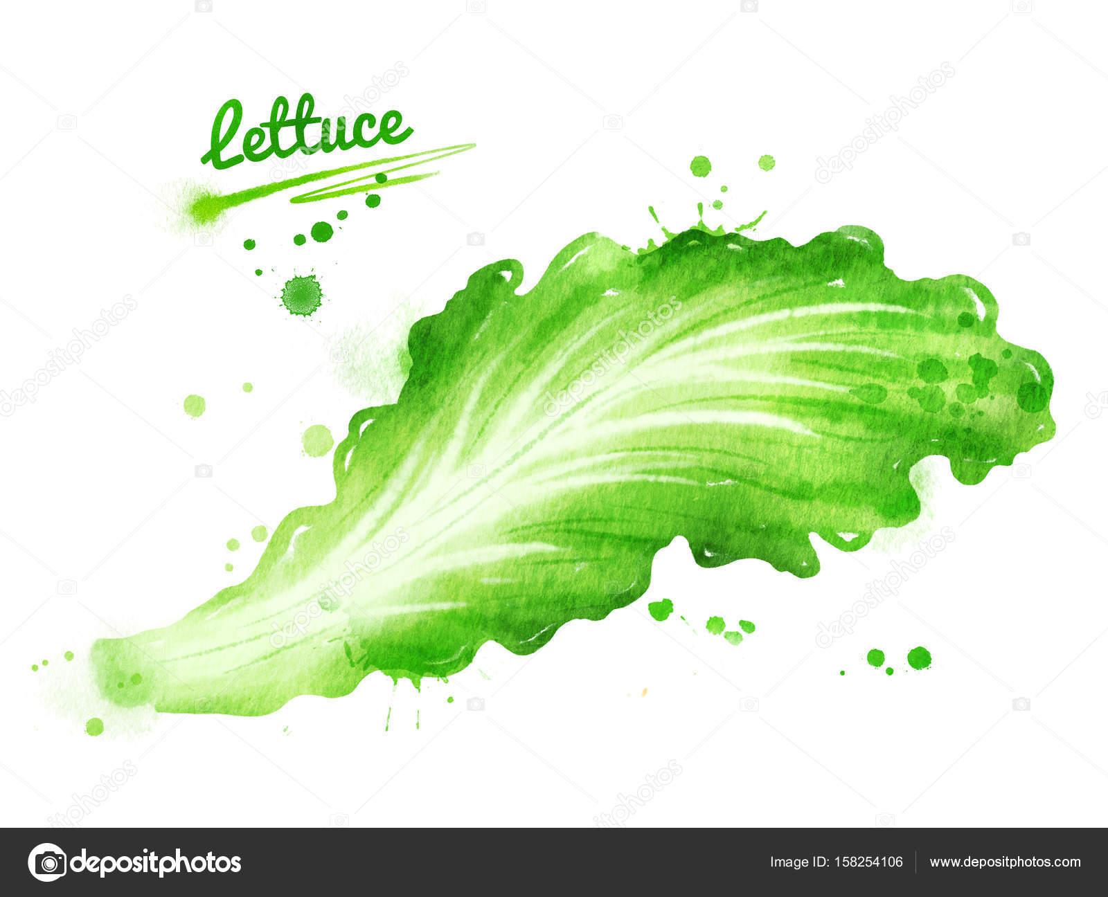 レタスの葉の水彩イラスト ストック写真 Sonyaillustration 158254106