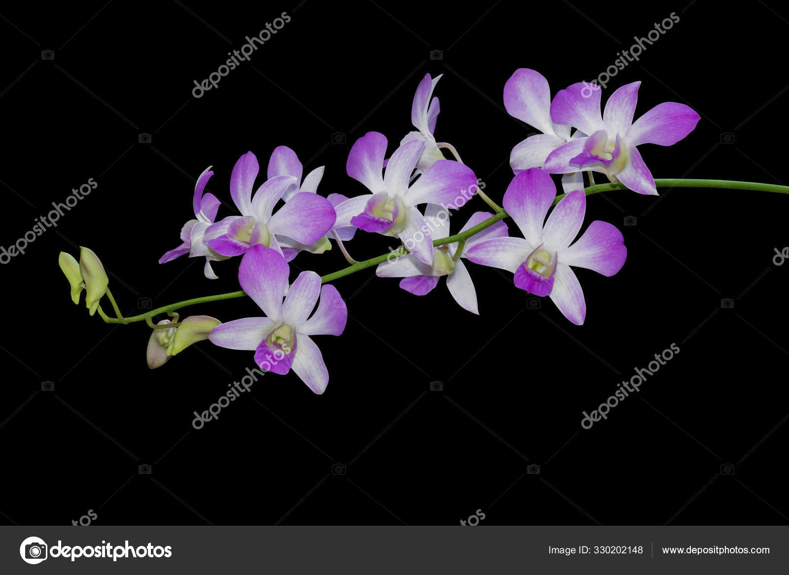 Orchid Flower Isolated On Black Background Clipping Path Stock