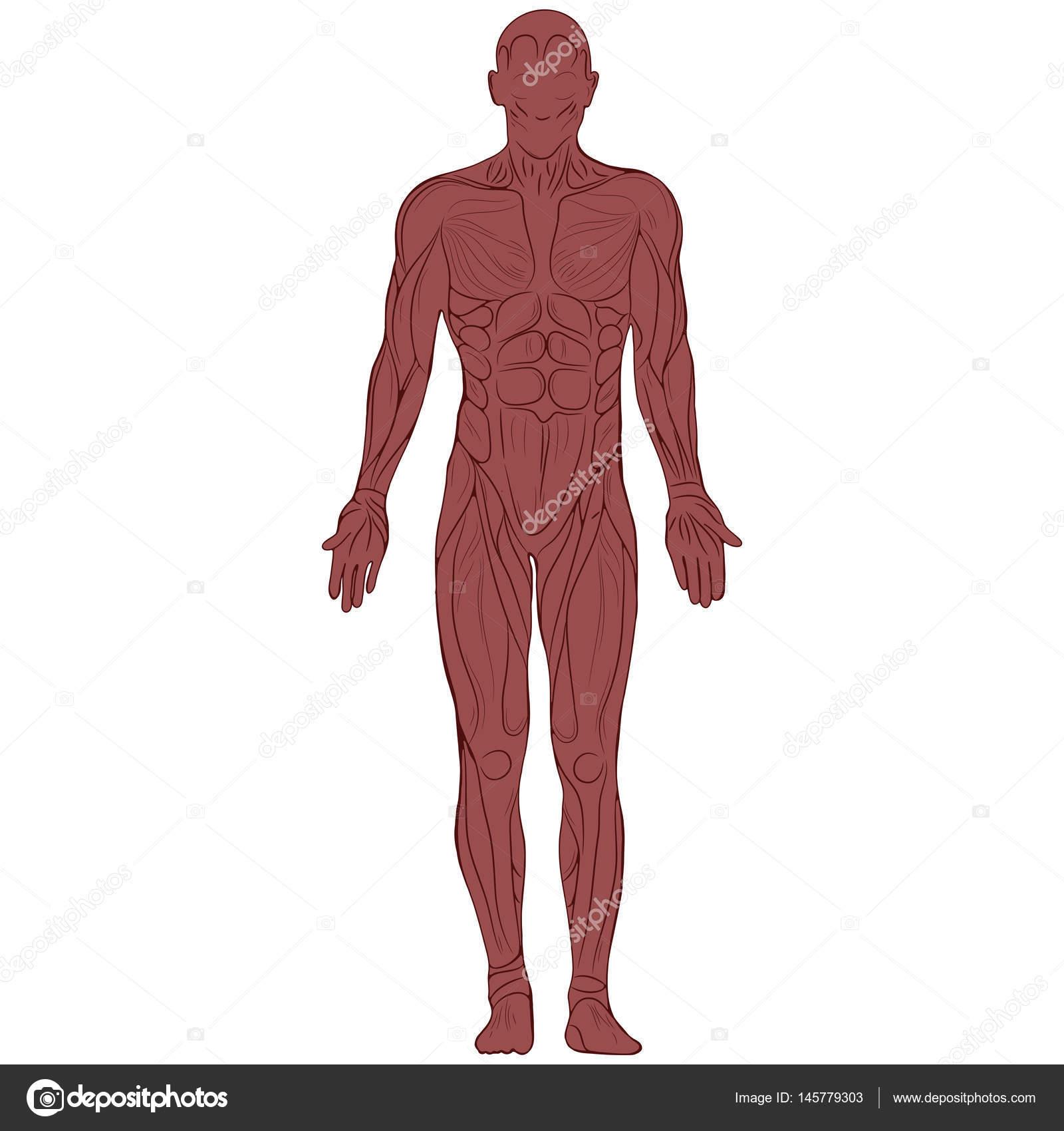 silueta del cuerpo humano con los músculos — Vector de stock ...