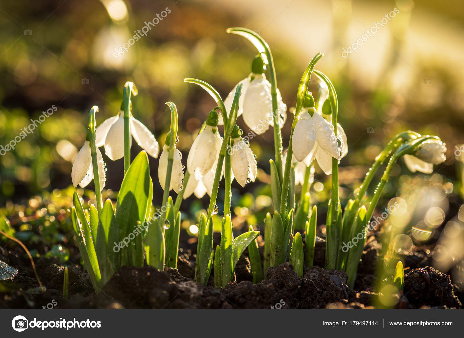 Erste Fruhlingsblumen Schneeglockchen Stockfoto C Ba1istic 179497114