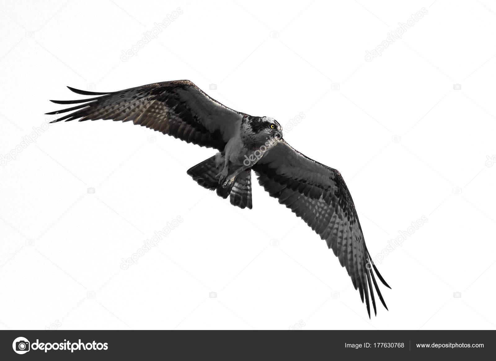 osprey pandion haliaetus photographie dennisjacobsen 177630768. Black Bedroom Furniture Sets. Home Design Ideas