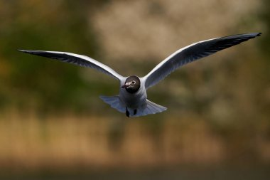 Black-headed gull in flight with vegetation in the background
