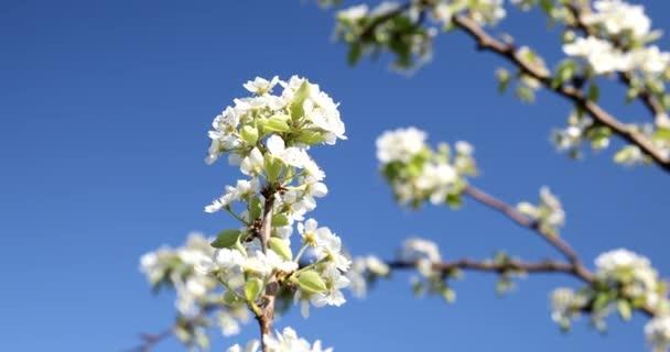 Egy körtevirág közelsége. Virágzó tavaszi természet. Virágzó gyümölcsfák.