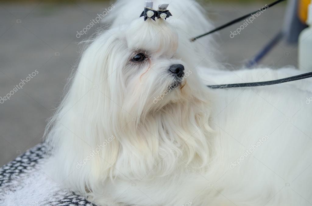 Razze del cane maltese foto stock serg0403 128443162 for Cane razza maltese