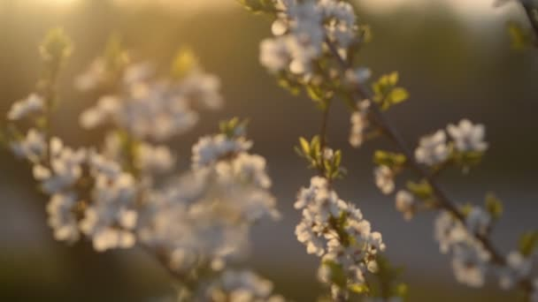 A blooming cherry tree at sunset.
