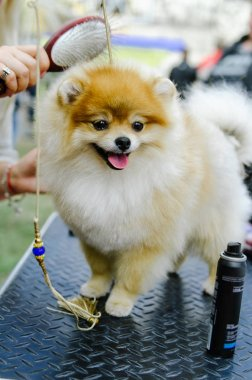 dog of the Pomeranian Spitz takes part in the dog show