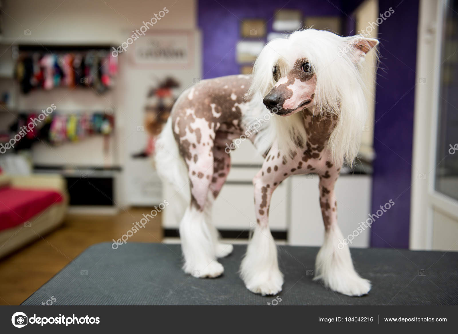 Breed Dog Grooming Chinese Crested Stock Photo Serg0403 184042216