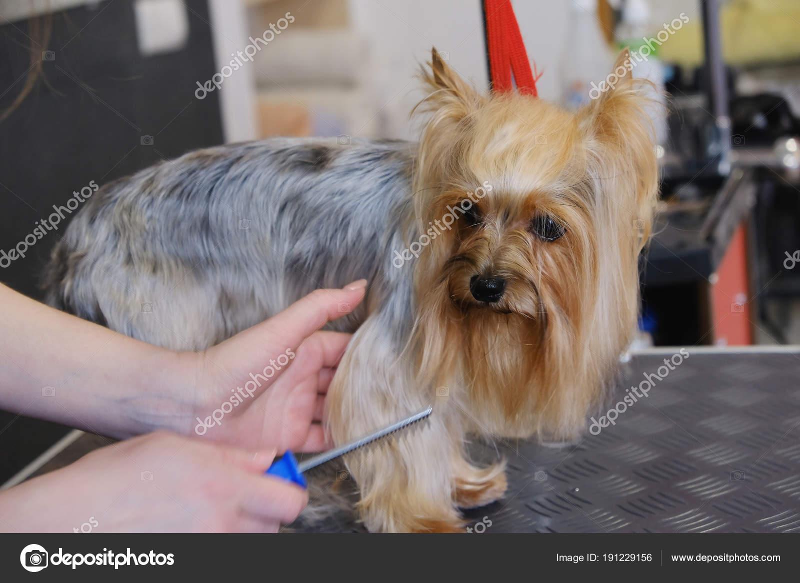 Profesjonalną Opiekę Fryzura I Pies Yorkshire Terrier W Grooming