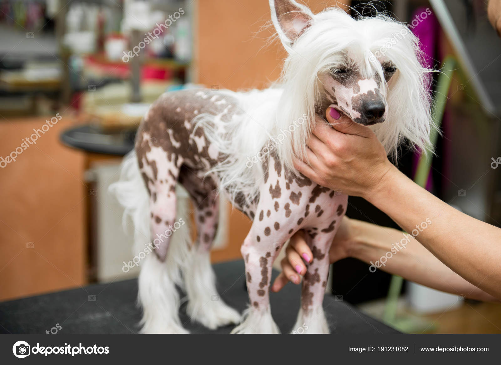Breed Dog Grooming Chinese Crested Stock Photo Serg0403 191231082