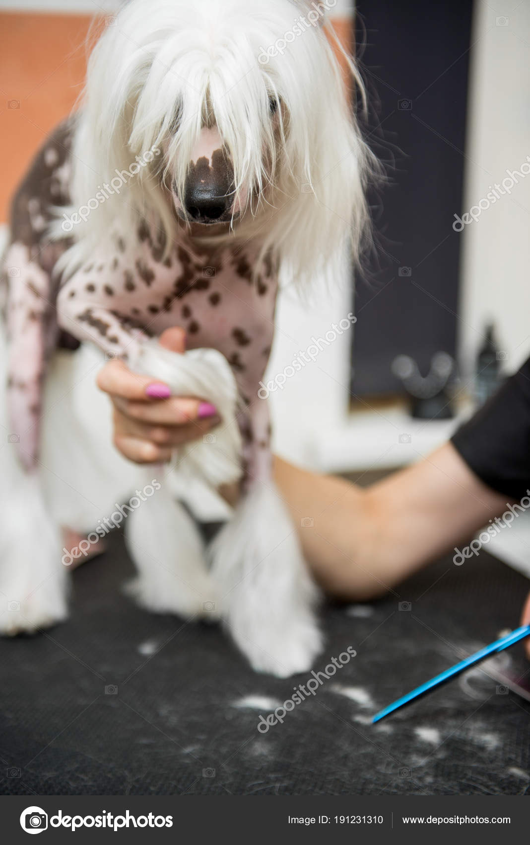 Breed Dog Grooming Chinese Crested Stock Photo Serg0403 191231310