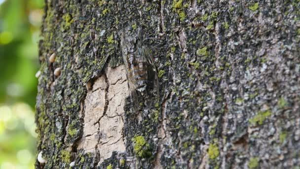 a fa chirring cicada közelről