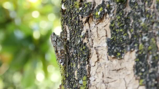 chirring cikáda na stromě zblízka