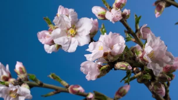 Pozadí jarní mandlový květ