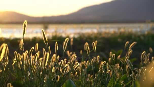 Divokých trav při západu slunce ve větru
