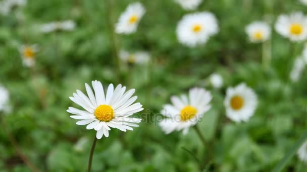 Wild chamomile flowers on a field on a sunny day
