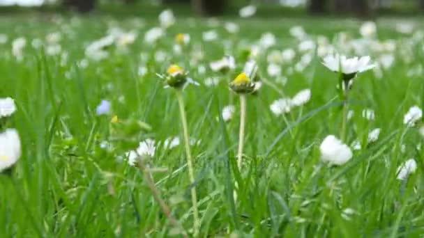 Vadon élő Kamilla virág mező, egy napsütéses napon