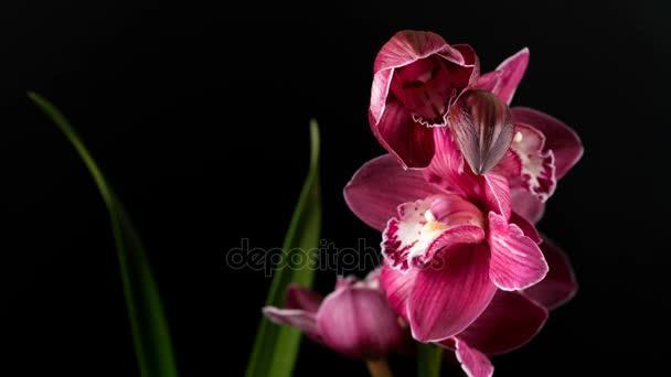Květy orchidejí Cymbidium s listy izolované na černém pozadí