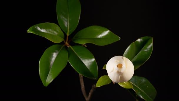 kvetoucí bílá magnolia grandiflora