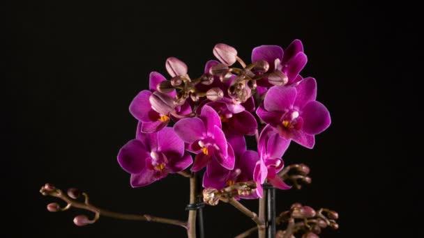 lila Orchideenblumen blühen auf schwarzem Hintergrund