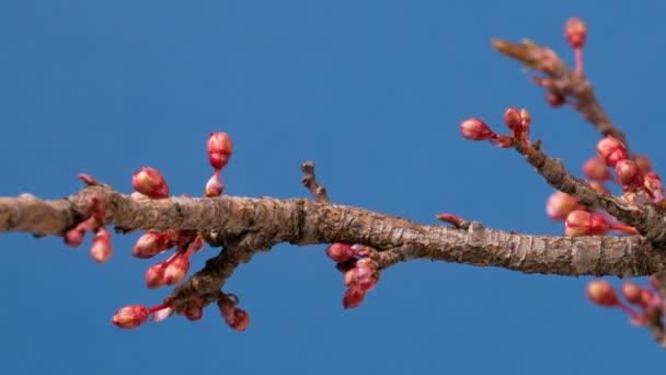Jarní sakura růžová květina kvetoucí větve