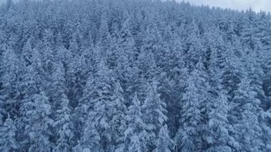 flight over the snow-covered spruce forest after sunset