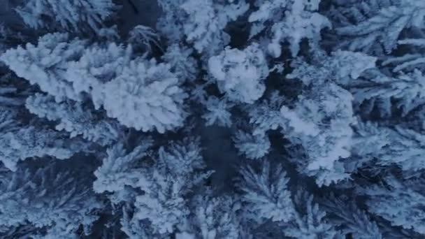 Flug über den schneebedeckten Fichtenwald nach Sonnenuntergang
