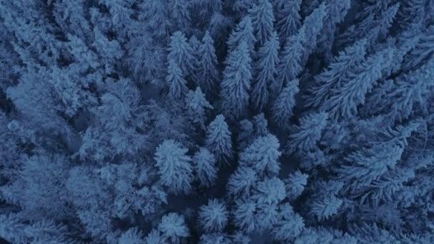 Přelet nad sněhem pokryté smrkovým porostem po západu slunce