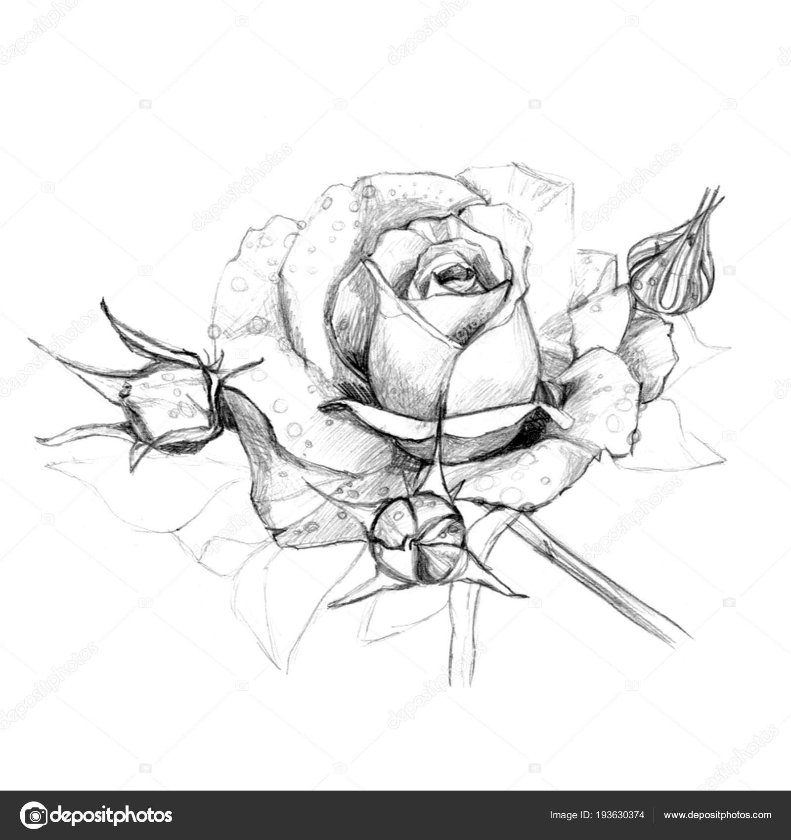 Dibujos A Lapiz De Rosas Con Espinas Lápiz De Mano Rosas Foto