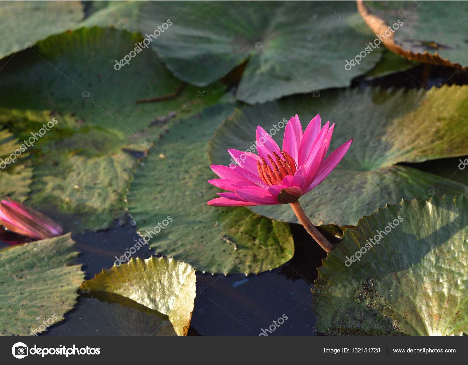 Lotus Flower Thailand Stock Photo Panda3800 132151728