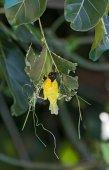 Kaffer szövőpinty kezdődik épület egy új fészket, Namíbia