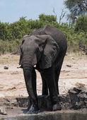 Slon na napajedlo v Botswana Chobe National Park