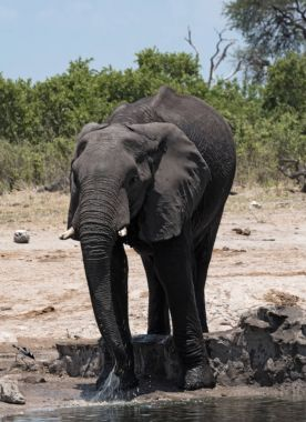 Elephant at a waterhole in Chobe National Park, Botswana