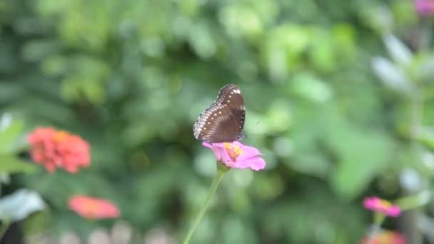Schmetterling im Zinnia-Garten