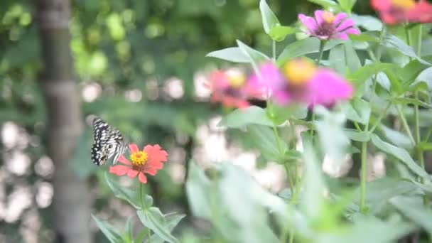 Butterfly in zinnia garden