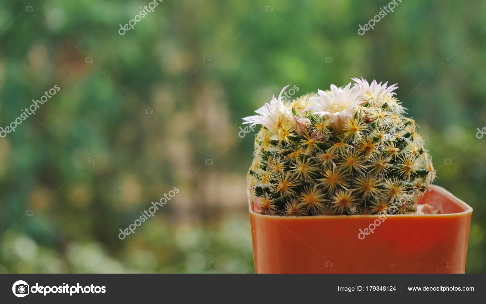 Beautiful Cactus Flowers On Blur Background Stock Photo
