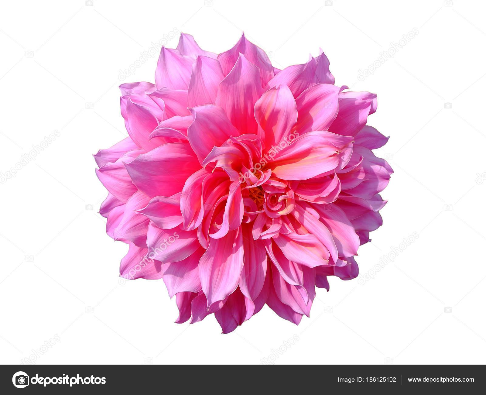 Beautiful Red Dahlia Flowers Stock Photo Toeytoey 186125102