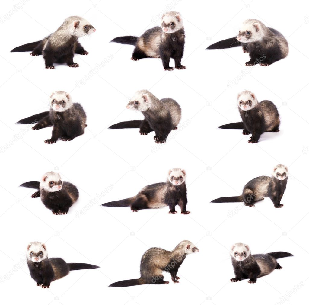 Collage of cute gray ferrets in full growth, isolated