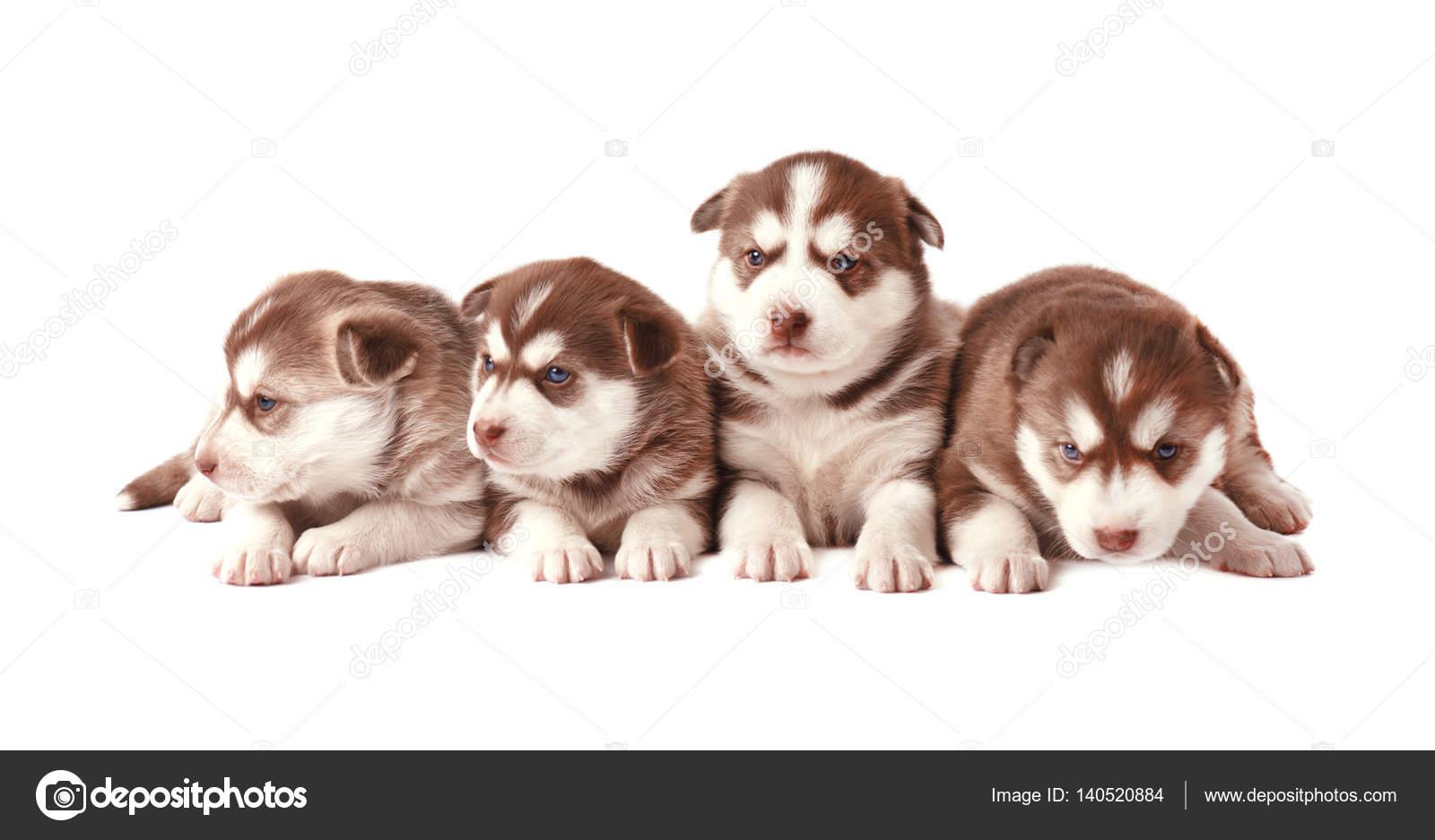Group Of Siberian Husky Puppies Brown Puppies Husky Isolated Stock Photo C Vandycandy 140520884