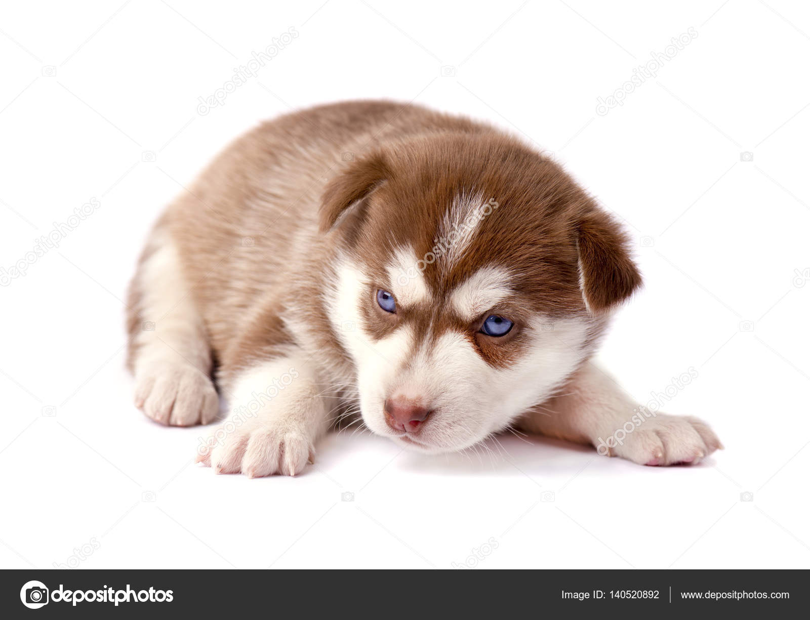 Brown husky puppy with blue eyes | Brown husky puppy with