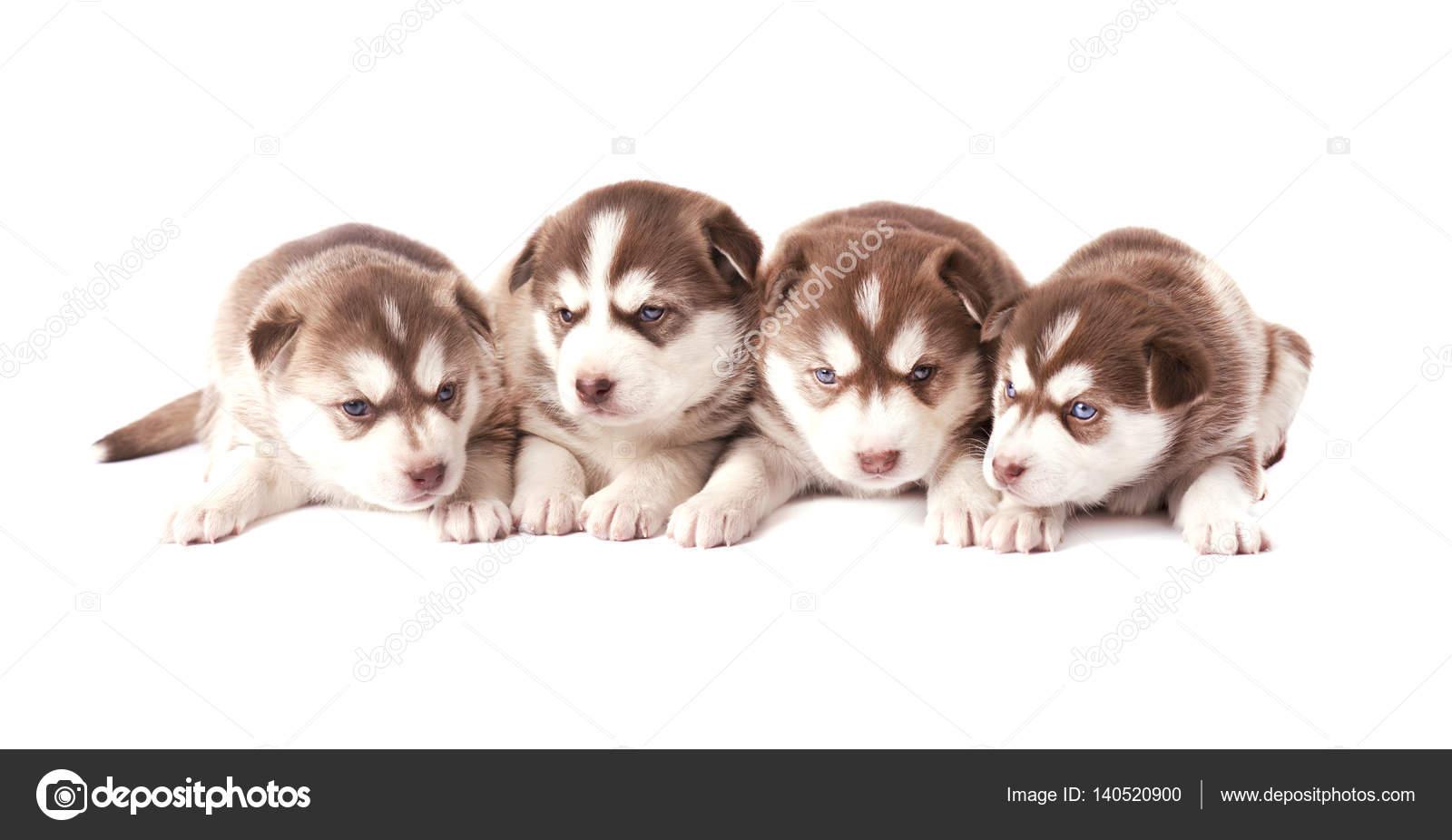 Group Of Siberian Husky Puppies Brown Puppies Husky Isolated Stock Photo C Vandycandy 140520900