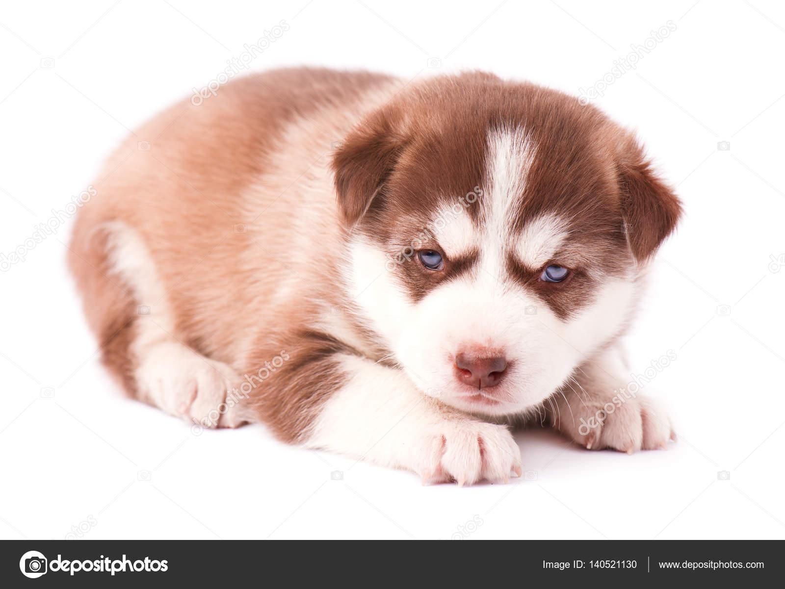 Cute Baby Husky Puppies Cute Siberian Husky Puppy Stock Photo C Vandycandy 140521130