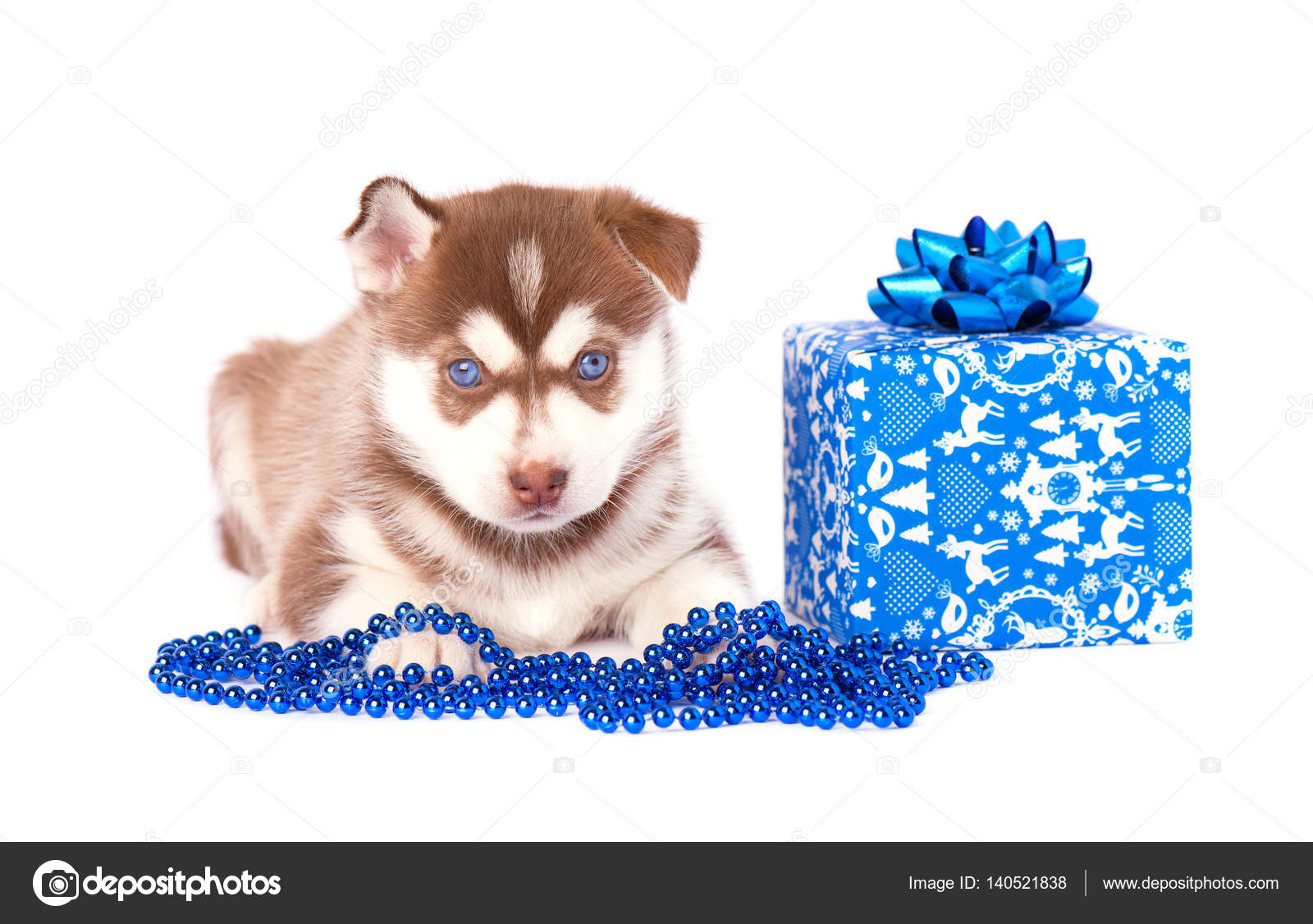 Husky Christmas Puppy.Siberian Husky Puppy With Blue Christmas Gift Isolated