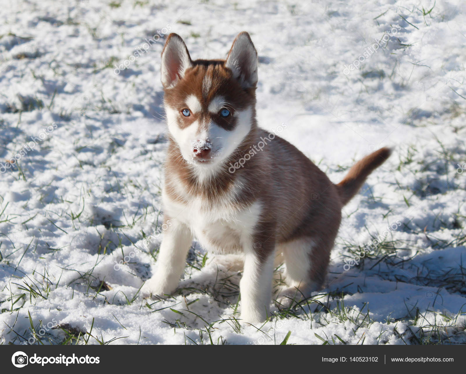 Siberian Husky Puppy Playing In The Snow Stock Photo C Vandycandy