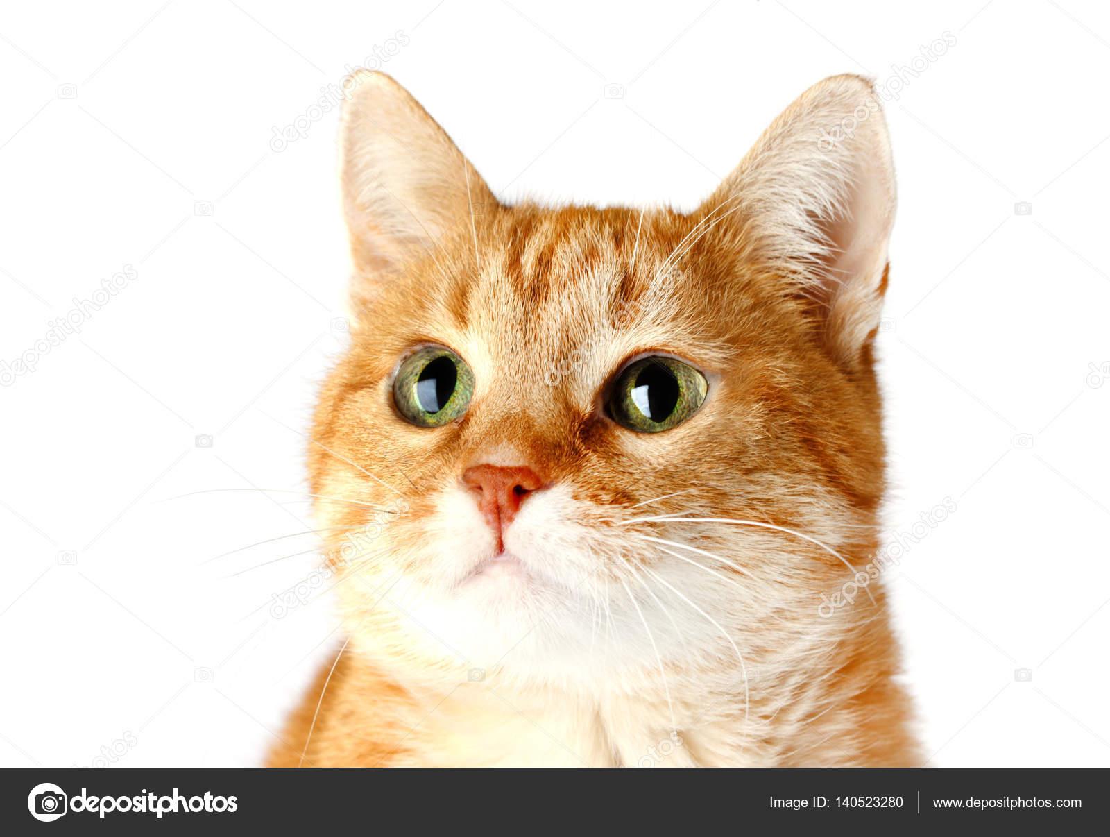 Gatto Rosso Adulto Isolato Su Priorità Bassa Bianca Foto Stock