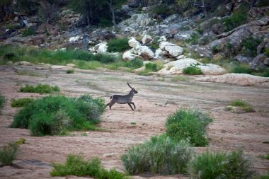 South African Waterbuck ring running along the dry riverbed