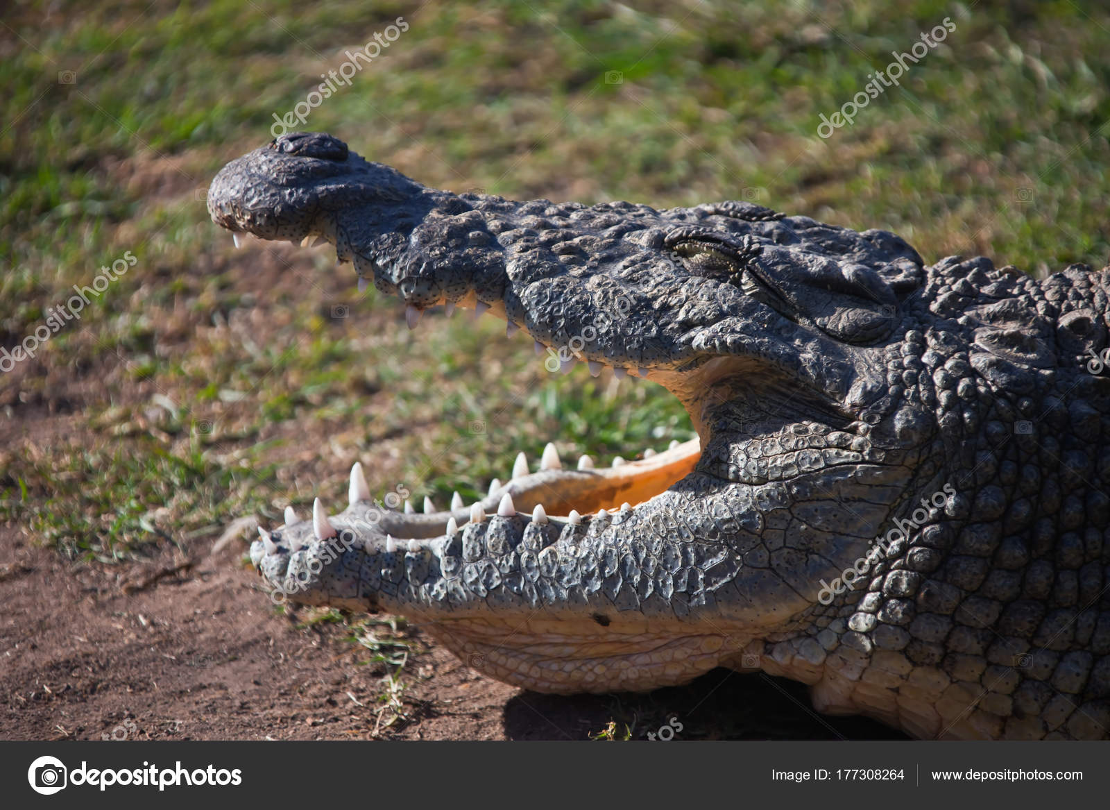 Cocodrilo del Nilo con la boca abierta y ojos cerrados. Gran cocodrilo  africano adulto muestra sus dientes.