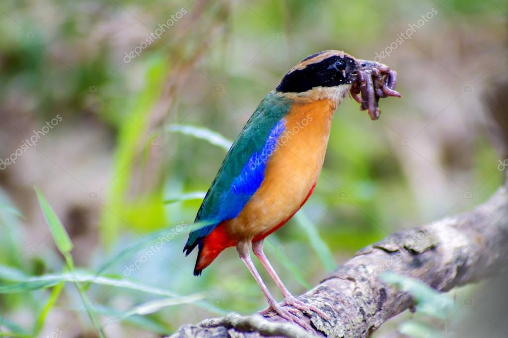 Bird colorful (Blue winged pitta) eating earthworms in forests